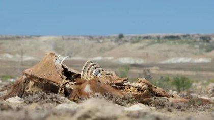 Количество погибшего скота подсчитали в Мангистау