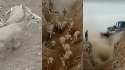 «Сколько бабла»: стадосайгаковпровалилось в дорожную ямув Мангистау