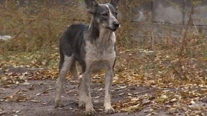 Бойцовских псов натравливают на дворняг в Казахстане – зоозащитники
