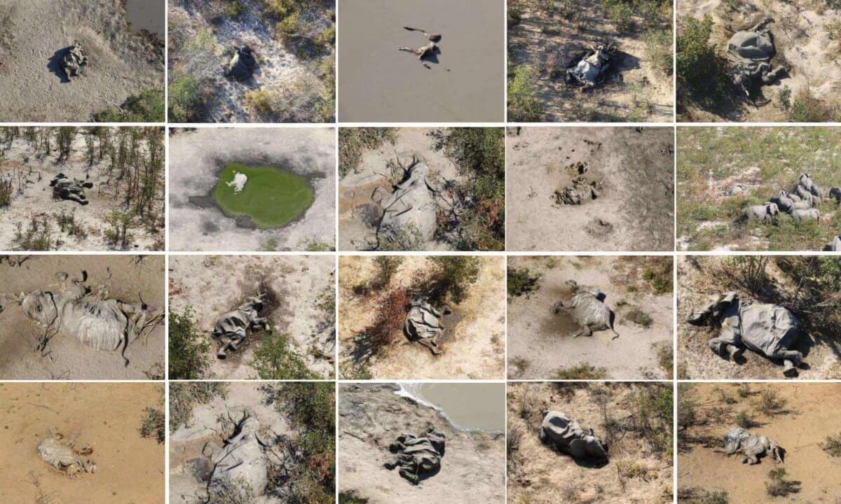 Масова загибель слонів відбулася в Африці