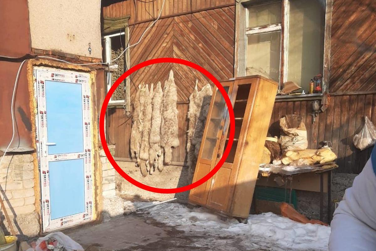 Жители Алматинской области убивали диких животных ради шкур в своем доме 2